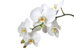 blanc d'orchidée Photo stock