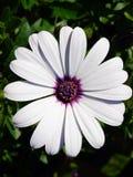 Blanc d'Osteospermum Photo libre de droits