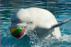 blanc de baleine Photographie stock