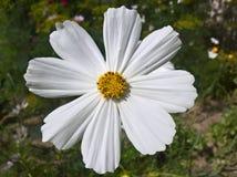 Blanc de Bipinnatus de cosmos de cosmos de jardin Photo libre de droits