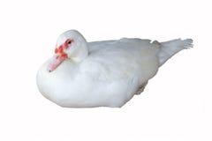 Blanc de canard Photographie stock