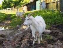 Blanc de chèvre Photo stock