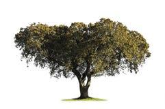 blanc de chêne d'isolement par chêne Images stock