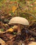 Blanc de champignon de couche Photos libres de droits