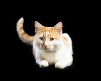 Blanc de chat avec les taches rouges, queue augmentée, se trouvant Photographie stock libre de droits