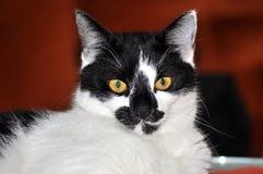 blanc de chat noir Photographie stock libre de droits