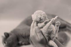 blanc de chaton d'isolement par main de fond Photographie stock