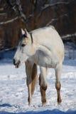 blanc de cheval Images libres de droits