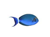 blanc de chirurgien de poissons Images stock