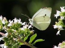 Blanc de chou sur des fleurs Photos stock