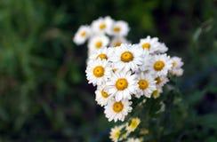 Blanc de chrysanthème Photo stock
