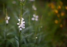 Blanc de cloche de fleur Photos stock