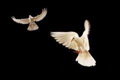blanc de colombe Photographie stock libre de droits