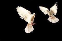 blanc de colombe Images libres de droits