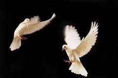 blanc de colombe Image stock