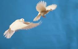 blanc de colombe Photos stock