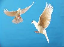 blanc de colombe Photographie stock
