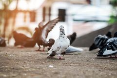 Blanc de colombe sur la route Photographie stock