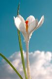 Blanc de crocus avec le fond de ciel Images stock