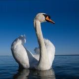 blanc de cygne de beautifull Photo stock