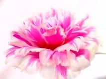 Blanc de fantaisie de fleur Image stock