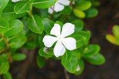 Blanc de fleur de fleurs Photographie stock libre de droits