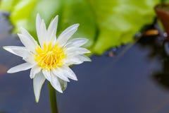 Blanc de fleur de Lotus Photos stock