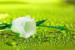 blanc de l'eau de fleur Image libre de droits