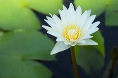 Blanc de Lotus Image stock