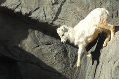blanc de montagne de 2 chèvres Photo stock