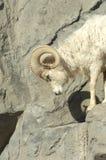 blanc de montagne de 3 chèvres Photo stock