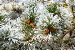blanc de neige de pin photo stock