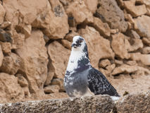 Blanc de noir de colombe de pigeon repéré Photo libre de droits