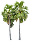 blanc de palmier d'isolement par fond Photographie stock