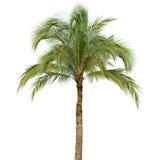 blanc de palmier d'isolement par fond images stock