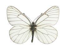 Blanc de papillon image libre de droits