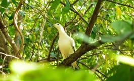 Blanc de pigeon Images stock