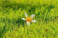 Blanc de Plumeria sur des gras verts Images stock