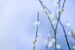 Blanc de prune de fleur, tache floue Images stock