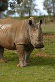 blanc de rhinocéros Images libres de droits