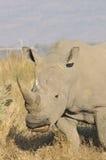 blanc de rhinocéros Photographie stock libre de droits