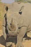 blanc de rhinocéros Image stock