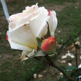 Blanc de rose de la pureté n de l'amour Image libre de droits