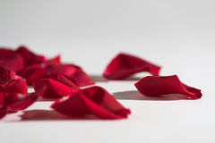 blanc de rose de pétales de fond Photos stock