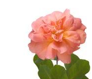 blanc de rose de rose d'isolement par fleur d'abricot image libre de droits