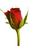 blanc de rose de rouge Image stock