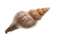 blanc de seashell d'isolement par fond photo libre de droits