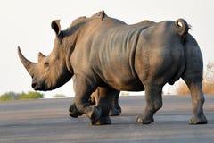 blanc de simum de rhinocéros de ceratotherium Images libres de droits