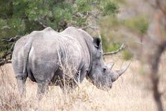 blanc de simum de rhinocéros de ceratotherium Photographie stock libre de droits