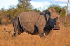 blanc de simum de rhinocéros de ceratotherium Image stock